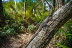 Ανατολικός δράκος νερού στα μπλε βουνά, Αυστραλία στοκ εικόνα