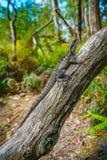 Ανατολικός δράκος νερού στα μπλε βουνά, Αυστραλία στοκ φωτογραφία με δικαίωμα ελεύθερης χρήσης