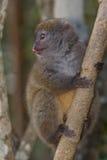 ανατολικός κερκοπίθηκος μπαμπού μικρότερος στοκ φωτογραφίες με δικαίωμα ελεύθερης χρήσης