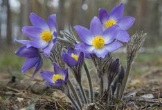 Ανατολικό άνθος pasqueflower Στοκ φωτογραφίες με δικαίωμα ελεύθερης χρήσης
