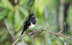 Ανατολικό τραγούδι πουλιών Towhee Στοκ Φωτογραφία