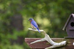 Ανατολικό Bluebird που σκαρφαλώνει κοντά σε ένα σπίτι πουλιών, Αθήνα Γεωργία ΗΠΑ Στοκ Φωτογραφία