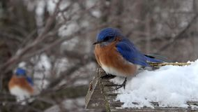 Ανατολικό Bluebird στο χιόνι απόθεμα βίντεο