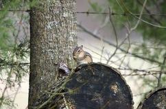 Ανατολικό Chipmunk στο κούτσουρο καυσόξυλου, Γεωργία, ΗΠΑ Στοκ Φωτογραφία