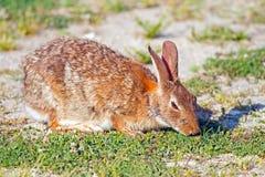 Ανατολικό Cottontail κουνέλι Στοκ Φωτογραφίες
