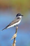 ανατολικό kingbird Στοκ Φωτογραφία
