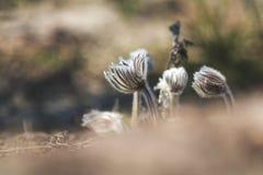 Ανατολικό pasqueflower, κρόκος λιβαδιών, cutleaf anemone Στοκ Φωτογραφίες