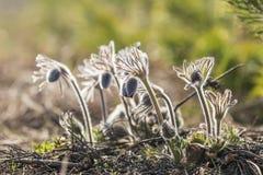 Ανατολικό pasqueflower, κρόκος λιβαδιών, cutleaf anemone Στοκ εικόνες με δικαίωμα ελεύθερης χρήσης