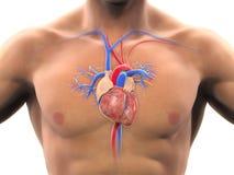 ανατομίας χεριών καρδιών αρχικός απεικόνισης που χρωματίζεται ανθρώπινος Στοκ εικόνα με δικαίωμα ελεύθερης χρήσης