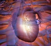 ανατομίας χεριών καρδιών αρχικός απεικόνισης που χρωματίζεται ανθρώπινος διανυσματική απεικόνιση