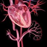 ανατομίας χεριών καρδιών αρχικός απεικόνισης που χρωματίζεται ανθρώπινος ελεύθερη απεικόνιση δικαιώματος