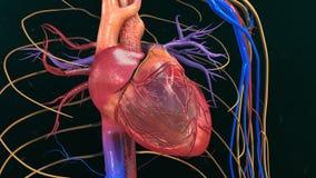ανατομίας χεριών καρδιών αρχικός απεικόνισης που χρωματίζεται ανθρώπινος στοκ φωτογραφίες