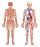 Ανατομία ανθρώπινου σώματος. απεικόνιση αποθεμάτων