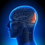 Ανατομία εγκεφάλου - ινιακός λοβός διανυσματική απεικόνιση