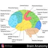 Ανατομία εγκεφάλου διανυσματική απεικόνιση