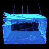 Ανατομία δερμάτων διανυσματική απεικόνιση