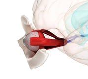 Ανατομία και δομή ματιών, μυ'ες, νεύρα και αιμοφόρα αγγεία Στοκ Εικόνες