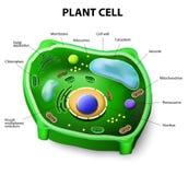 Ανατομία κυττάρων φυτού Στοκ Φωτογραφίες
