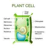 Ανατομία κυττάρων φυτού διανυσματική απεικόνιση