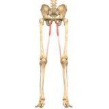 Ανατομία μυών ανθρώπινου σώματος (λεπτοκαμωμένη) ελεύθερη απεικόνιση δικαιώματος