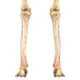 Ανατομία μυών ανθρώπινου σώματος (Flexor Hallucis Longus) διανυσματική απεικόνιση