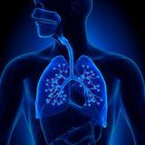 Ανατομία πνευμόνων - με τα λεπτομερή φατνία Στοκ φωτογραφία με δικαίωμα ελεύθερης χρήσης