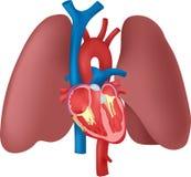 Ανατομία της καρδιάς και των πνευμόνων διανυσματική απεικόνιση