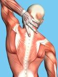 Ανατομία του αρσενικού με τον ανώτερο πόνο στην πλάτη Στοκ Εικόνα
