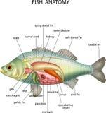 Ανατομία των ψαριών διανυσματική απεικόνιση
