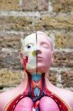ανατομικό ιατρικό μοντέλο Στοκ Εικόνες