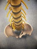 Ανατομικό πρότυπο της σπονδυλικής στήλης στοκ εικόνα με δικαίωμα ελεύθερης χρήσης