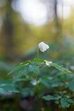 Ανατολή πέρα από το μόνο ξύλινο λουλούδι anemone Στοκ Εικόνες
