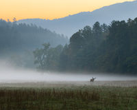 Ανατολή πέρα από το misty λιβάδι με την αρσενική βοσκή αλκών ταύρων Στοκ Εικόνες