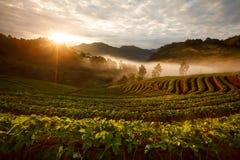 Ανατολή πρωινού της Misty στον κήπο φραουλών στο ANG -ANG-khang Doi Στοκ Φωτογραφίες