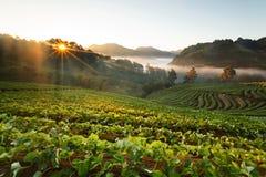 Ανατολή πρωινού της Misty στον κήπο φραουλών στο ANG -ANG-khang Doi Στοκ Φωτογραφία
