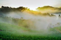 Ανατολή πρωινού της Misty στον κήπο φραουλών στο ANG Doi khang moun Στοκ εικόνα με δικαίωμα ελεύθερης χρήσης