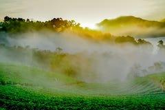 Ανατολή πρωινού της Misty στον κήπο φραουλών στο ANG Doi khang moun Στοκ εικόνες με δικαίωμα ελεύθερης χρήσης