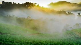 Ανατολή πρωινού της Misty στον κήπο φραουλών στο ANG Doi khang moun Στοκ Εικόνες