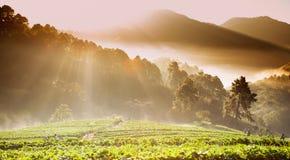 Ανατολή στον τομέα φραουλών στο βουνό doi angkhang, chiangmai, Στοκ Εικόνες