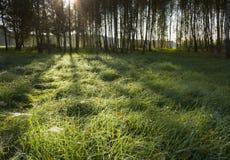 Ανατολή στο δάσος σημύδων Στοκ εικόνα με δικαίωμα ελεύθερης χρήσης