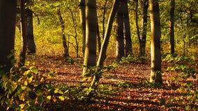 Ανατολή στο πράσινο δάσος οξιών Στοκ φωτογραφία με δικαίωμα ελεύθερης χρήσης