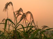 Ανατολή στο misty τομέα ρυζιού Στοκ Εικόνες