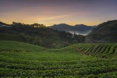 Ανατολή τοπίων στο ANG Khang Doi κήπων φραουλών Στοκ Φωτογραφίες