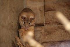 Ανατολικά ακανθωτά ποντίκια (dimidiatus Acomys) μπροστά από τον τοίχο στοκ φωτογραφίες με δικαίωμα ελεύθερης χρήσης