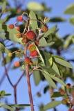 Ανατολικά φρούτα φράουλα-δέντρων Στοκ φωτογραφία με δικαίωμα ελεύθερης χρήσης