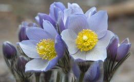 Ανατολικά pasqueflowers Στοκ εικόνα με δικαίωμα ελεύθερης χρήσης