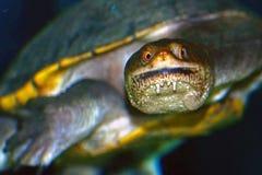 Ανατολική μακρύς-necked χελώνα, Κουάλα Λουμπούρ, Μαλαισία Στοκ Φωτογραφία