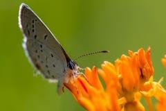 Ανατολική παρακολουθημένη μπλε πεταλούδα στο ζιζάνιο 2 πεταλούδων Στοκ Φωτογραφία