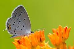 Ανατολική παρακολουθημένη μπλε πεταλούδα στο ζιζάνιο 3 πεταλούδων Στοκ φωτογραφία με δικαίωμα ελεύθερης χρήσης