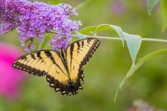 Ανατολική πεταλούδα Swallowtail τιγρών στον πορφυρό θάμνο πεταλούδων Στοκ Εικόνες